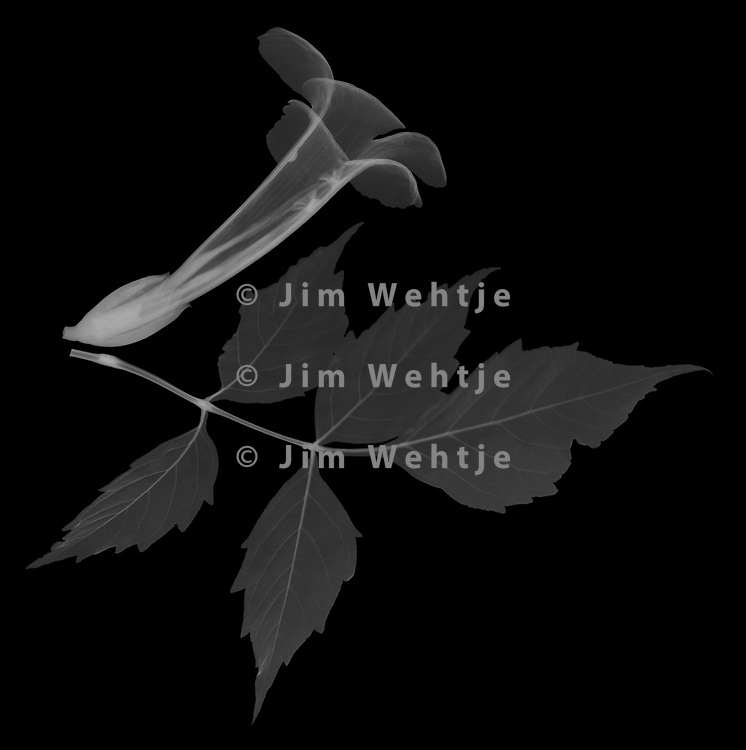 X-ray image of a trumpet vine leaf and flower (Campsis radicans, white on black) by Jim Wehtje, specialist in x-ray art and design images.