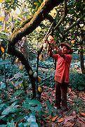 MEXICO, AGRICULTURE harvesting cocoa beans on a plantation in the State of Tabasco in the hot, humid, lowlands near the Gulf of Mexico coast