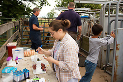 Graduate assistant Emily Rubinson, center, records data on vials of blood taken from ponies on Tuesday. <br /> <br /> The Grayson Jockey Club Foundation plays a key role in the health of the Thoroughbred industry by funding important research. <br /> <br /> UK research Ph.Ds, Dr. Martin Nielsen and Dr. David Horohov are conducting research on a group of ponies by analyzing their vitals after de-worming and vaccinating the equids. They want to see if giving both regimens have negative effects on each other., Tuesday, Aug. 06, 2013 at the C. Oran Little Research Center in Versailles.