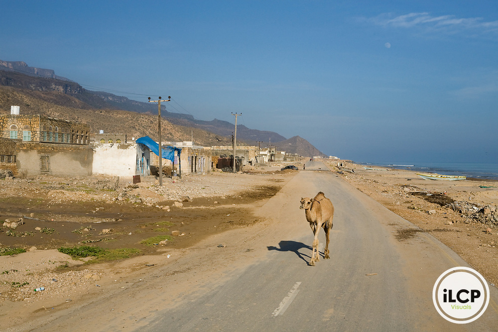 Dromedary (Camelus dromedarius) camel walking on road in town, Hawf Protected Area, Yemen