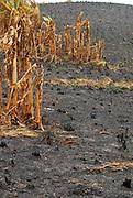 Burned plantain trees in Pachequilla island. Las Perlas archipelago, Panama province, Panama, Central America.