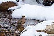 01081-01205 Mourning Dove (Zenaida macroura) bathing in winter, Marion Co., IL