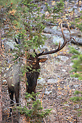 Rocky Mountain bull elk during the autumn rut