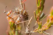 Emperor moth larva (Saturnia pavonia) predated by wood ant (Formica rufa). Dorset, UK.