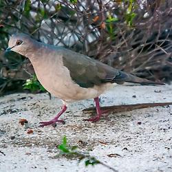 Pombas - Columbiformes / Doves