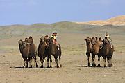 GOBI DESERT, MONGOLIA..08/29/2001.Tzochorinam, kids of wealthy camel herder and local hero Chimiddorj herding camels..(Photo by Heimo Aga).