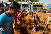 In the village of Palamadu the day before the Jallikattu local people spread out coconut coir husk to protect the falls of the participants.