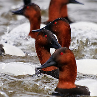 Heads of feeding canvasback (Aythya valisineria) lining up in an interesting pattern, Choptank River, Cambridge, Maryland