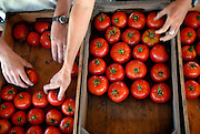 Sorting tomatoes at the Intervale, Burlington, Vermont for the Vermont Land Trust