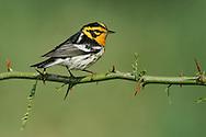 Adult male breeding<br /> Galveston Co., TX<br /> April 2005