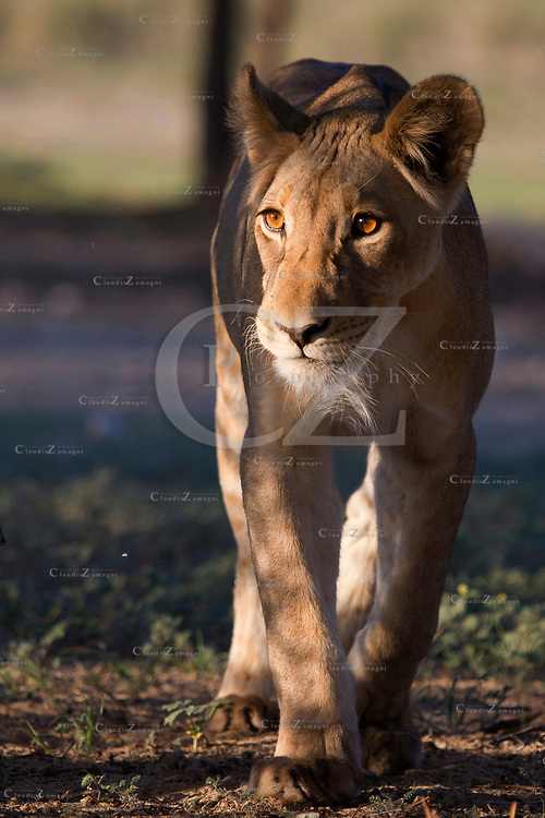 Lioness in Kgalagadi Transfrontier park South Africa<br /> &copy;Claudio Zamagni