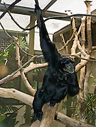 The Siamang (pronounced SEE-uh-mang) (Latin name Hylobates syndactylus, or Symphalangus syndactylus) is a tailless, arboreal, black furred gibbon native to the forests of Malaysia, Thailand, and Sumatra. Woodland Park Zoo, Seattle, Washington, USA.