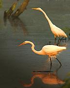 Great Egrets at Dusk