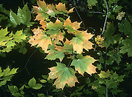 Sugar Maple Acer saccharum (Aceraceae) HEIGHT to 26m <br /> Similar to Norway Maple. BARK Has large fissures and falls away in shreds in older trees. BRANCHES Upright to spreading. LEAVES 13cm-long leaves are lobed, but teeth on lobes are rounded, not drawn out into a fine point as in Norway Maple; there are hairs in vein axils below. REPRODUCTIVE PARTS Pendulous yellow-green flowers are small and lack petals; open in spring with leaves. STATUS AND DISTRIBUTION Native of E North America, planted here for its autumn colours.