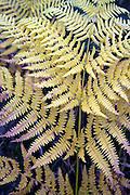 Yellow bracken fronds Pteridium aquiline leaves, Suffolk, England