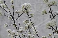 Unseasonal spring storm covers callery pear tree flowers with snow in Kirkwood, Missouri.