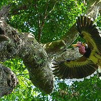 Nat Geo: Helmeted Hornbills