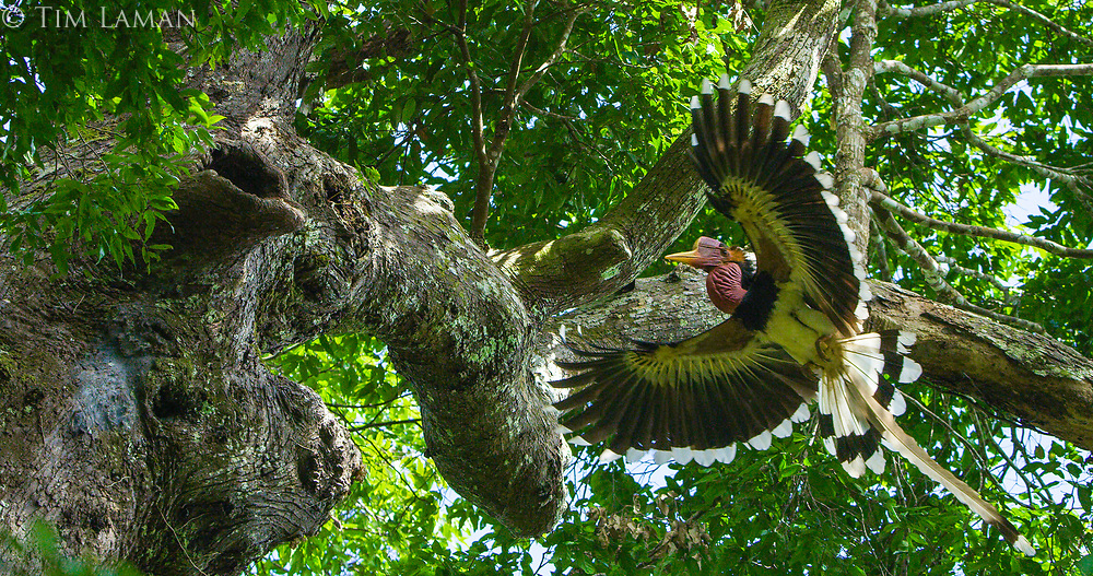 Helmeted Hornbill (Rhinoplax vigil) male arrives at nest tree with wings spread for landing.  The female is inside the dark opening visible on the left side of frame in the broken off branch.  Helmeted Hornbill nest HH 22.<br /> Budo-Sungai Padi National Park<br /> Narathiwat Province<br /> Thailand