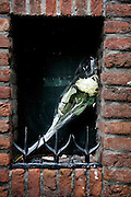 Witte roos achtergelaten in een erker.<br /> <br /> A white rose left behind  on the street.