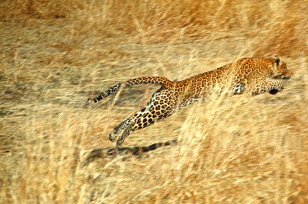 A female leopard lunges for a kill in Kenya's Masai Mara National Reserve.