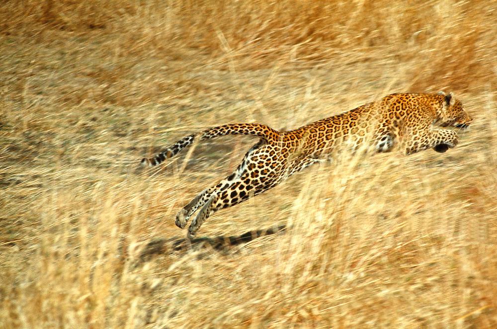 A female leopard lunges to make a kill in Kenya's Masai Mara National Reserve.