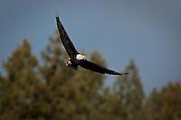 JEROME A. POLLOS/Press..A bald eagle glides over the shoreline of Lake Coeur d'Alene near Beauty Bay.
