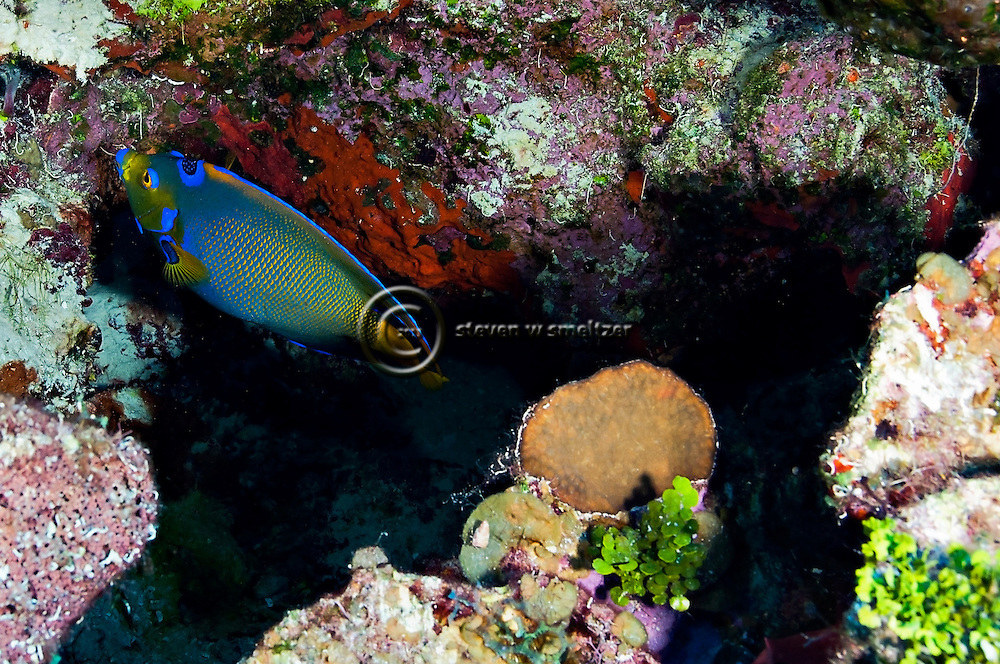 Queen Angelfish, Hoacanthus ciliaris, Grand Cayman
