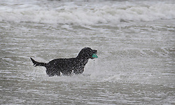 © Licensed to London News Pictures. 08/02/2019. Bognor Regis, UK. A dog plays in the waves as winds pick up on the beach at Bognor Regis as the effects of Storm Erik are felt in the south of the UK. Photo credit: Peter Macdiarmid/LNP