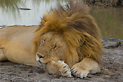 Male lion snoozing by a waterhole, Serengeti National Park, Tanzania.