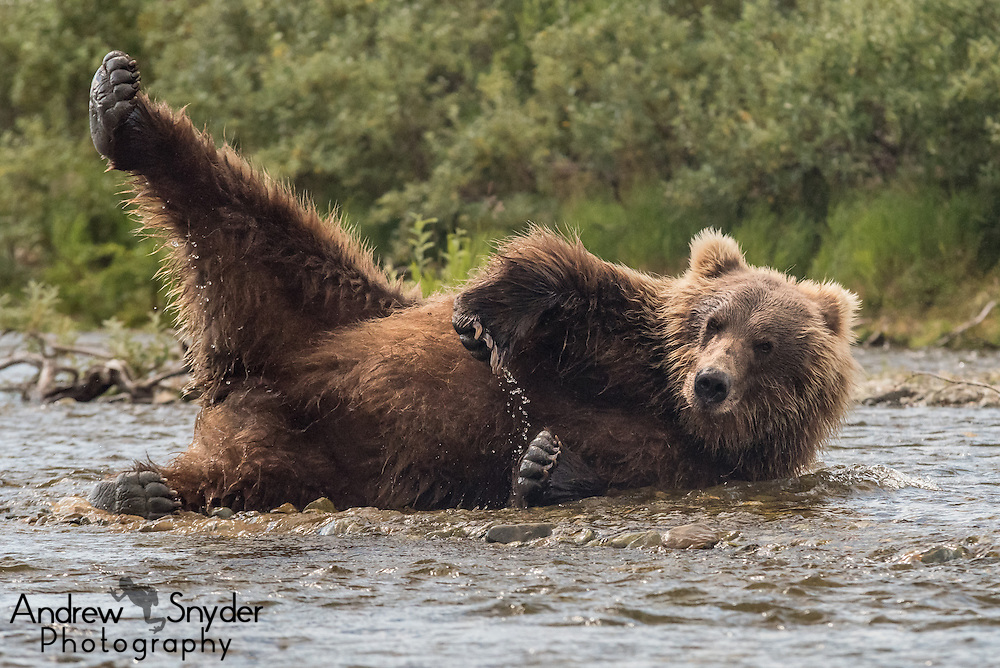 After a good meal, sometimes it's necessary to do a little stretch - Katmai, Alaska
