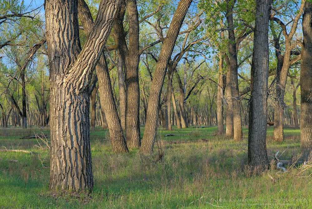 Cootonwood trees in spring, Theodore Roosevelt National Park North Dakota USA