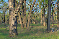 Cootonwood trees in spring, Theodore Roosevelt National Park North Dakota USA
