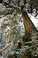 Looking up at trees in the forest on the short hike to the Big Four Ice caves in the cascades of Washington, USA.