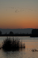 Snow Geese dot the sky at dusk, Sacramento National Wildlife Refuge