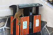 SANYA, CHINA - AUGUST 11: (CHINA OUT) <br /> <br /> Mass Propagation Of Wild Monkeys Brings More Animal Attacks <br /> <br />  A monkey searches for food on a garbage can at Luhuitou Park on August 11, 2014 in Sanya, Hainan province of China. Dozens of wild monkeys multiplied to over 700 at Luhuitou Park and attacked tourists especially those who carried food once in a while.<br /> ©Exclusivepix