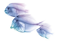 X-ray image of reef fish facing left (blue purple on white) by Jim Wehtje, specialist in x-ray art and design images.