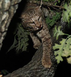 bobcat in a tree at night