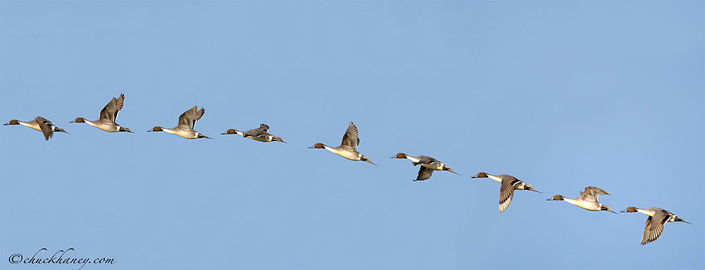 Male Northern Pintail duck in flight sequence at Benton Lake NWR near Great Falls Montana digitally composited
