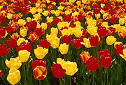 Tulips<br /> &copy;1995 Jeff Becker <br /> All Rights Reserved<br /> 5 Cedar Hill Road<br /> Easton, CT 06612<br /> 203.261.9765<br /> 203.526.4059