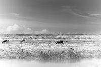 Cows graze in pasture alongside Highway 11, just north of Venice, LA.  Copyright 2011 Reid McNally.