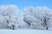 Hoarfrost covered trees on farm<br /> HAzelridge<br /> Manitoba<br /> Canada