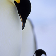 Emperor Penguin (Aptenodytes forsteri) adult and chick. Riiser Larsen Ice Shelf in Antarctica
