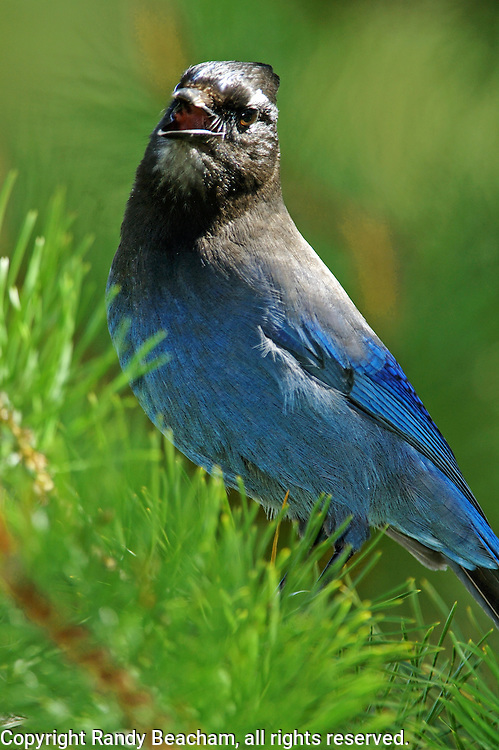 Stellar's jay calling in lodgepole forest. Yaak Valley, northwest Montana.