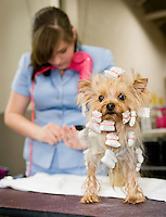A Yorkshire Terrier is groomed at the Westminster Kennel Club Dog Show at Madison Square Garden.