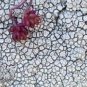Stone crops (Sedum L.) and Lichen (Usnea), Mont du Cézallier, Auvergne, France