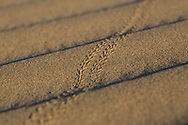 Beetle tracks at Mesquite Sand Dunes