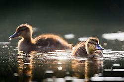 © Licensed to London News Pictures. 26/05/2018. Leeds UK. Ducklings play in the water at Golden Acre park in Leeds this morning as Yorkshire awoke to a bright sunny day. Photo credit: Andrew McCaren/LNP
