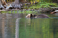 Grizzly bear in the Chilcotin region of southwest British Columbia, Canada