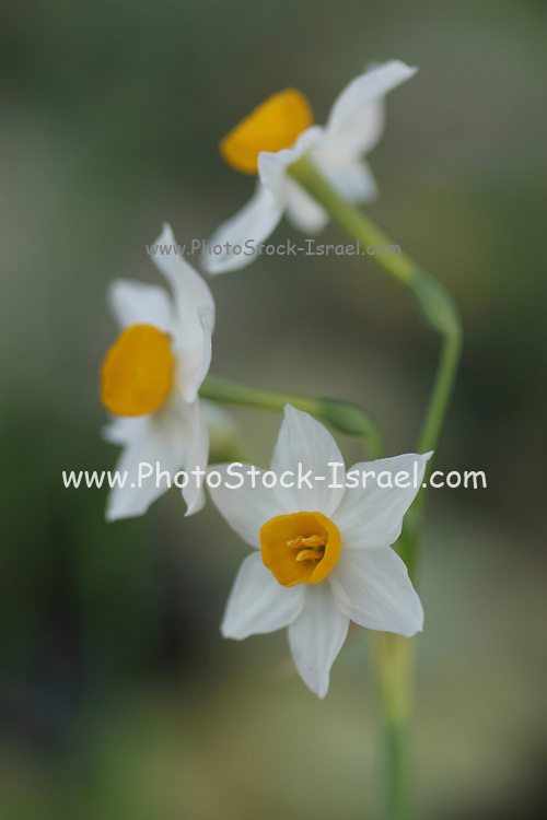 Narcissus tazetta, Chinese Sacred Lily, Israel, winter