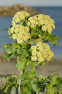 ALEXANDERS Smyrnium olusatrum (Apiaceae) Height to 1.25m. Stout and sometimes clump-forming, hairless biennial. Favours waste ground, roadside verges and hedgerows, mainly on calcareous soils. FLOWERS are yellowish and borne in umbels, 4-6cm across, with 7-15 rays (Mar-Jun). FRUITS are globular, ridged and black when ripe. LEAVES are dark green, shiny and 3 times trifoliate. STATUS-Introduced but widely naturalised, mainly on S and SE coasts of England and Ireland.